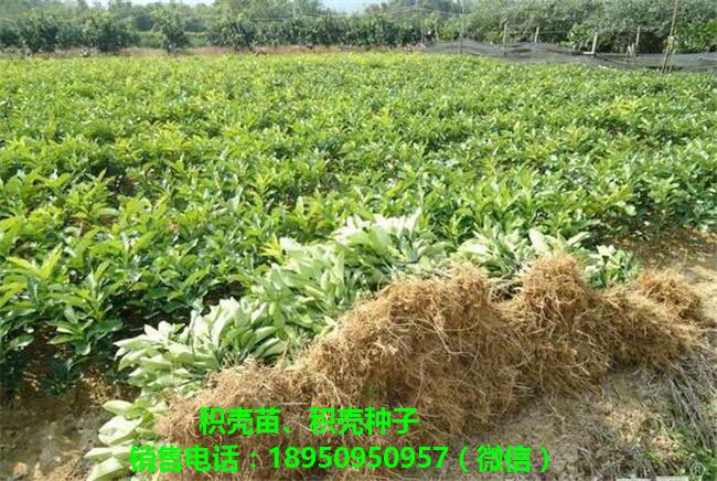 福建优质积壳种子价格福建积壳种子基地-- 福建文心阁农业有限公司