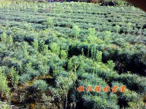本溪紅松苗、桓仁紅松樹苗、紅松小苗-- 桓仁瑞林苗圃