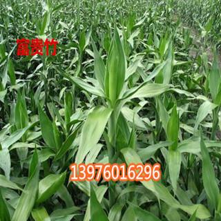 海南富贵竹批发 海口富贵竹价格-- 馨宁花卉园艺