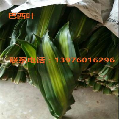 海南巴西叶供应商 海口巴西叶出售-- 馨宁花卉园艺