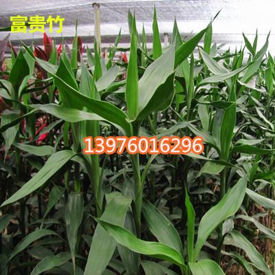海南富贵竹出售 海口富贵竹供应商-- 馨宁花卉园艺