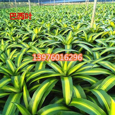 海南巴西叶直销 海口巴西叶采购-- 馨宁花卉园艺