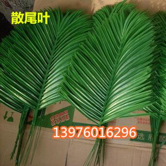 海南散尾供应商 海口散尾出售-- 馨宁花卉园艺