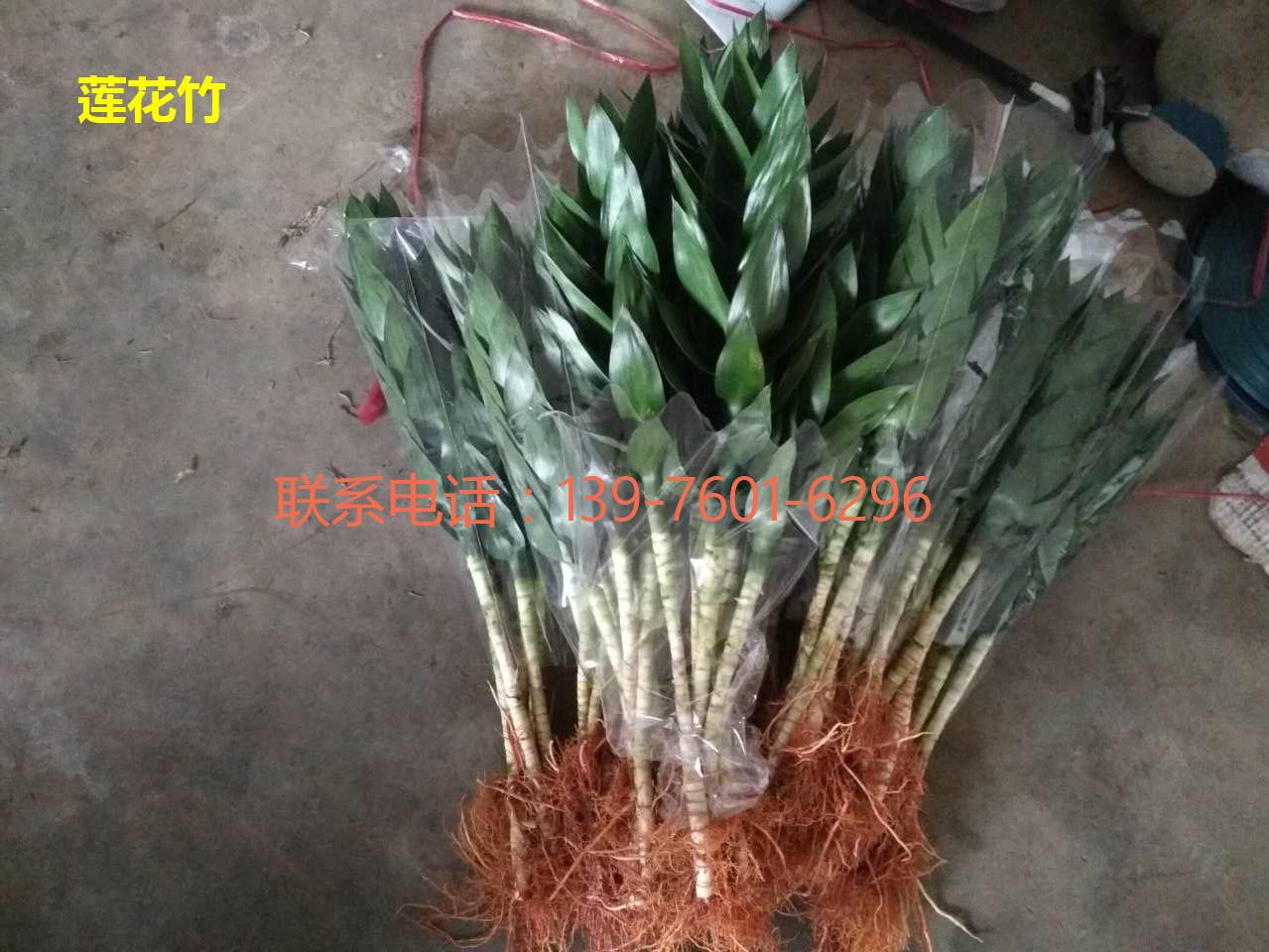 海南莲花竹供应商 海口莲花竹出售-- 馨宁花卉园艺