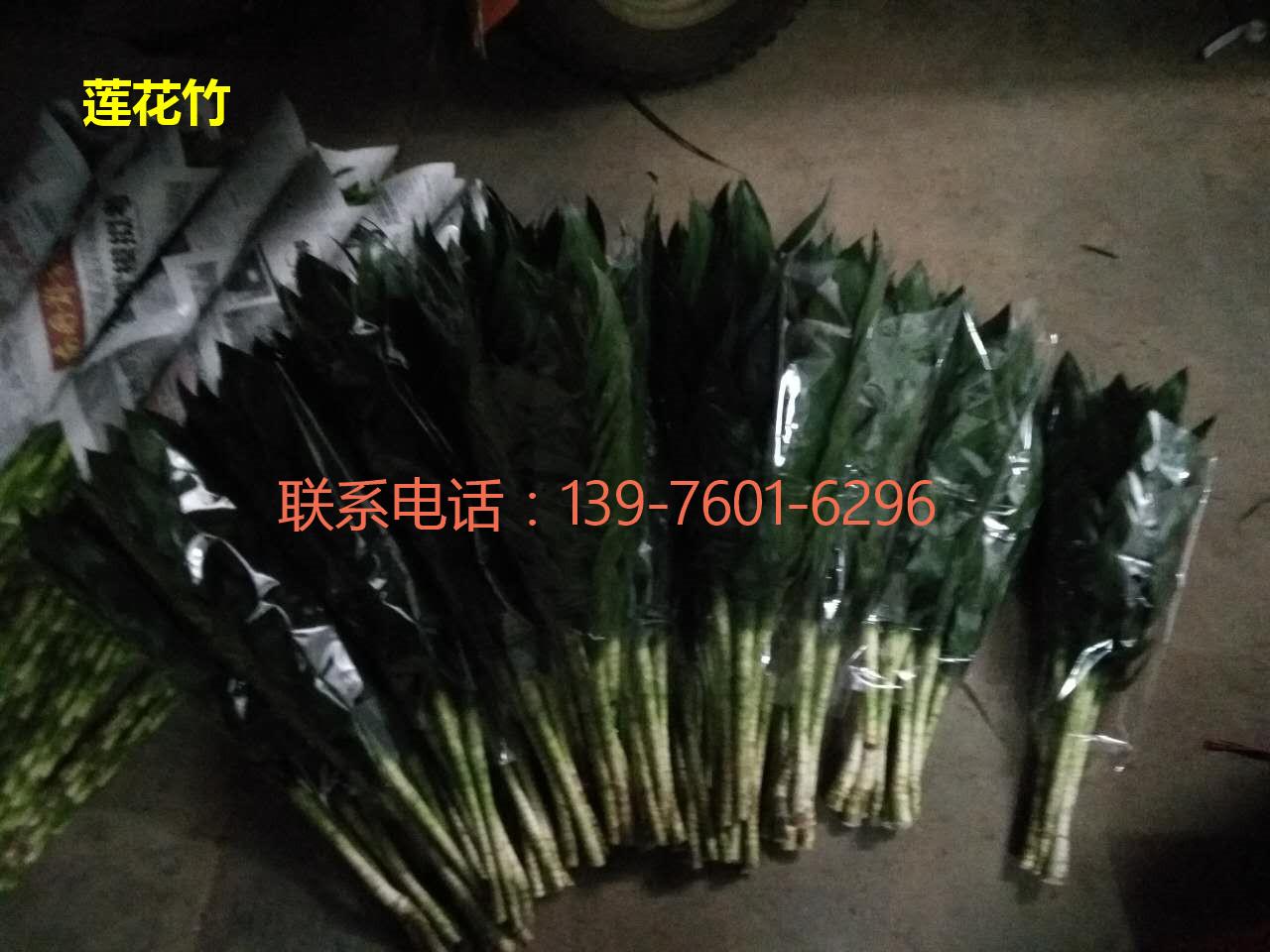 海南莲花竹采购 海口莲花竹直销-- 馨宁花卉园艺