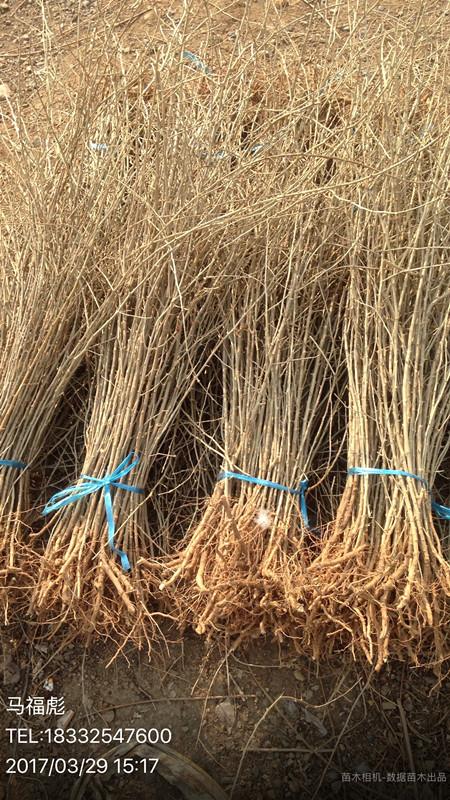 出售枸杞苗0.5cm以上-- 河北秦皇岛鸿源苗木培育基地