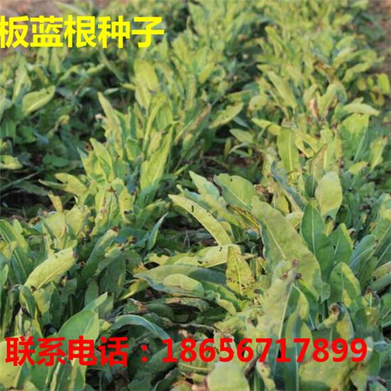 亳州板蓝根种子专业种植 亳州金丝皇菊苗专业种植-- 大川种苗种植专业合作社
