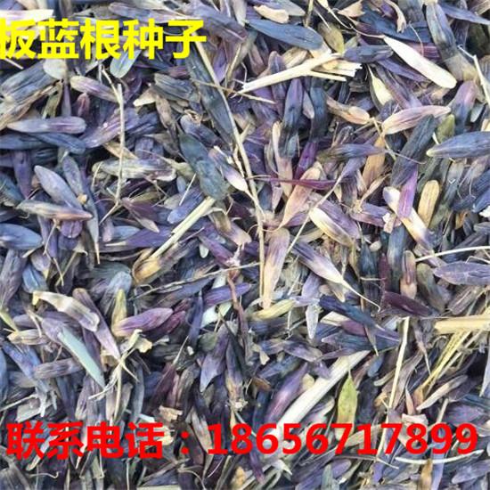 亳州板蓝根种子专业种植 亳州板蓝根种子专业育苗-- 大川种苗种植专业合作社