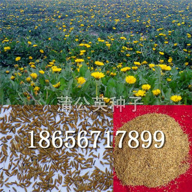 蒲公英种子/蒲公英种子价格/蒲公英种子批发/种植蒲公英效益-- 大川种苗种植专业合作社