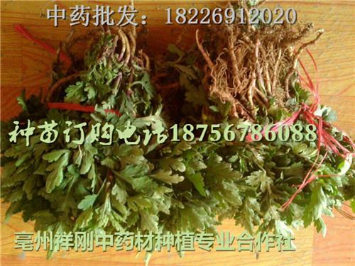 安徽菊花苗产地  亳州菊花种植厂家-- 亳州市祥刚农业种植专业合作社