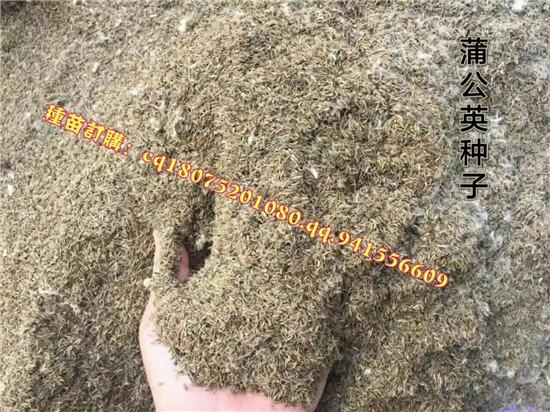 安徽蒲公英种植园 安徽蒲公英大型基地-- 亳州市祥刚农业种植专业合作社