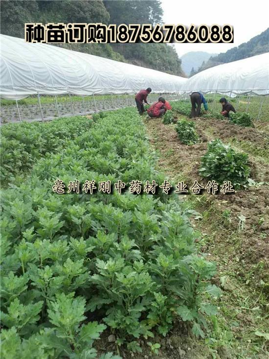 菊花苗一亩地3800棵  杭白菊一亩地4000棵左右-- 亳州市祥刚农业种植专业合作社