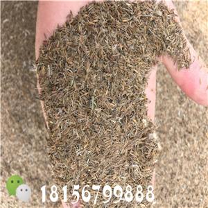 安徽蒲公英种子种植园 安徽蒲公英种子育苗场-- 亳州市谯城区绿尚种植专业合作社