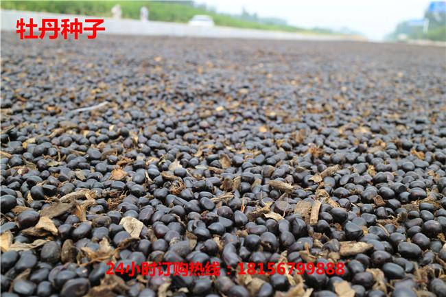 安徽牡丹种子种植园安徽牡丹种子育苗场-- 亳州市谯城区绿尚种植专业合作社