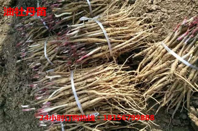 亳州油牡丹苗育苗场亳州油牡丹苗种植园-- 亳州市谯城区绿尚种植专业合作社