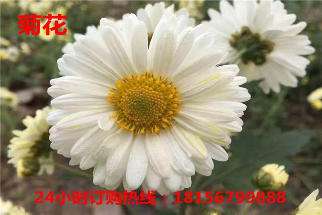 亳州杭白菊种植园亳州杭白菊育苗场-- 亳州市谯城区绿尚种植专业合作社