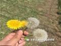 安徽蒲公英种子种植园 安徽蒲公英种子育苗场