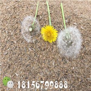 安徽蒲公英种子基地 蒲公英育苗种植技术-- 亳州市谯城区绿尚种植专业合作社