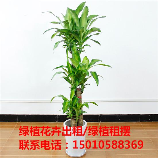 北京花木绿植盆栽出租供应商 北京花木绿植盆栽出租公司-- 北京花木绿植盆栽出租公司