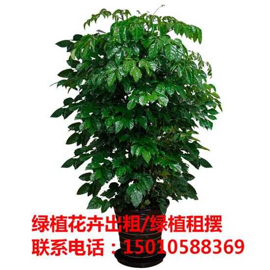 北京绿植花木盆栽租赁公司 北京绿植花木盆栽租赁供应商-- 北京花木绿植盆栽出租公司