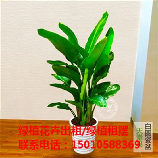 北京大型绿植花卉租摆公司 北京大型绿植花卉租摆供应商-- 北京花木绿植盆栽出租公司