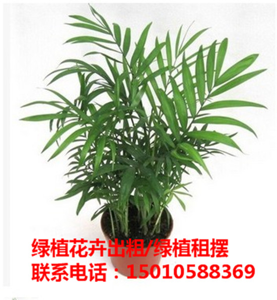 北京大型绿植花卉租摆供应商 北京大型绿植花卉租摆公司-- 北京花木绿植盆栽出租公司
