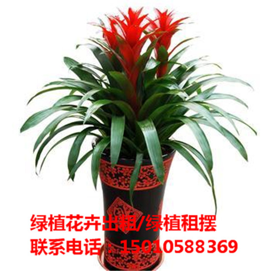 北京中型绿植花卉租摆供应商 北京中型绿植花卉租摆公司-- 北京花木绿植盆栽出租公司