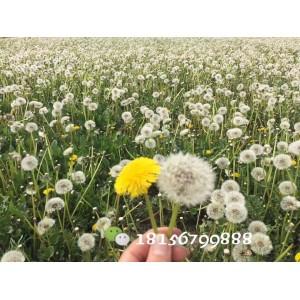 安徽蒲公英种子多少钱一斤  蒲公英育