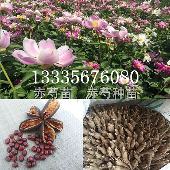 安徽赤芍种子育苗基地 安徽赤芍种子育苗基地-- 鹿邑县安泰种植合作社