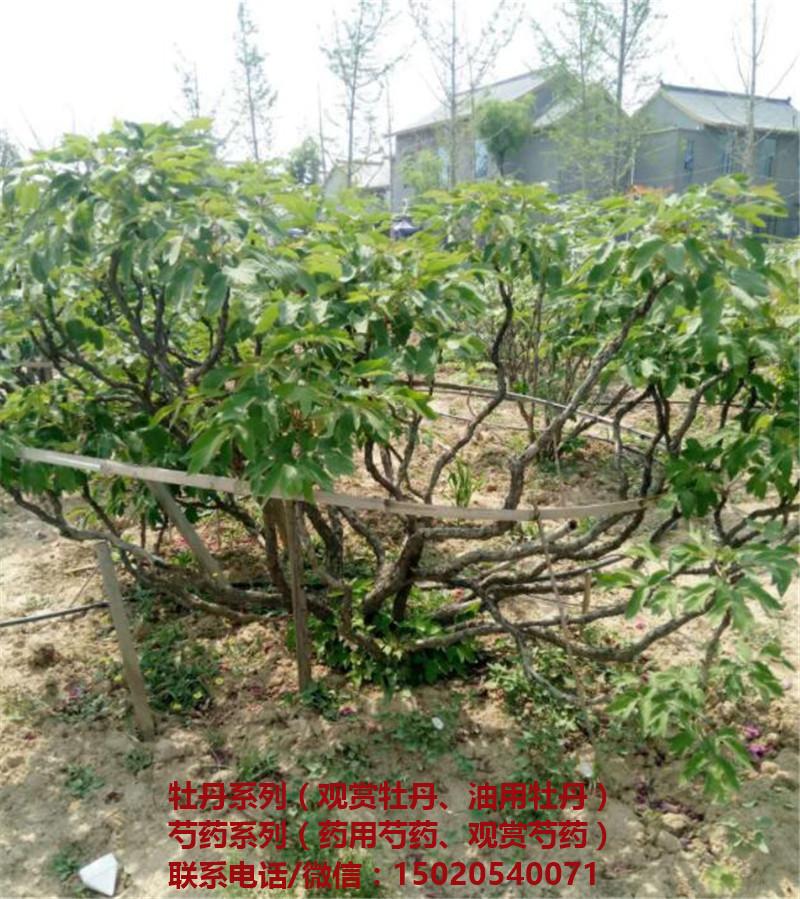 菏泽牡丹树苗木基地 菏泽牡丹树种植基地-- 菏泽市盛浩花木有限公司