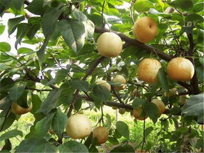 脆冠梨子苗-- 文仪园林绿化