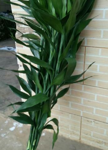 富贵竹供应商-- 馨宁花卉园艺