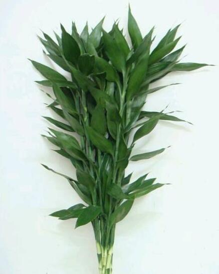 富贵竹采购-- 馨宁花卉园艺