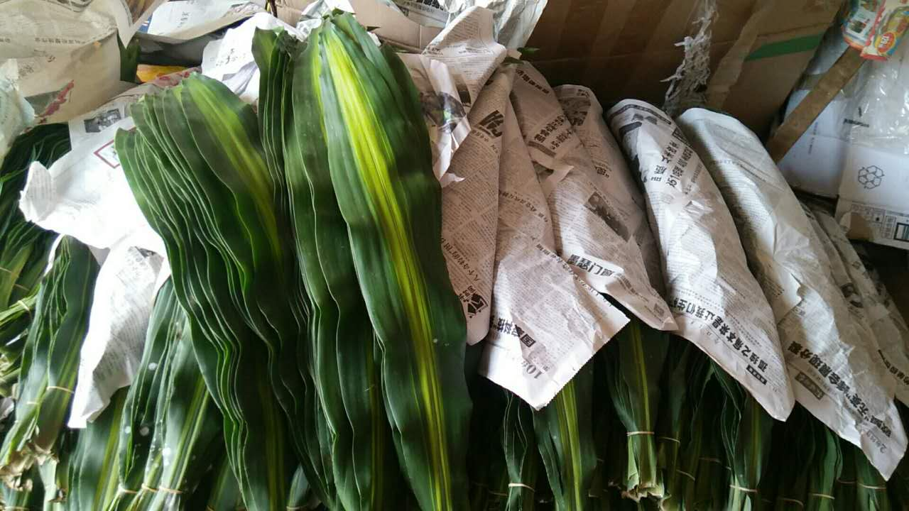 巴西叶供应商-- 馨宁花卉园艺