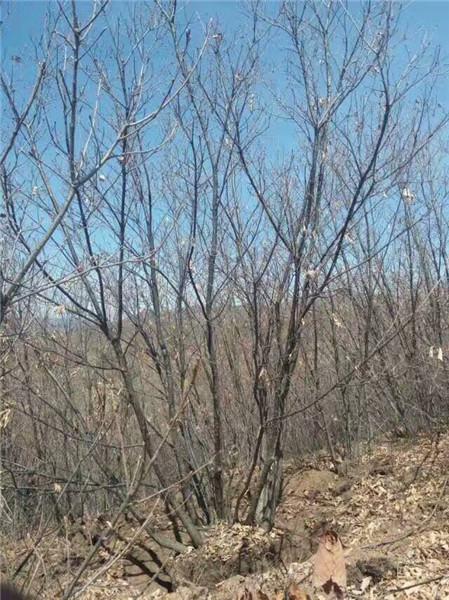 丛生蒙古栎培育基地-- 河北承德学帅苗木绿化基地