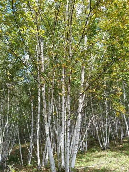 丛生白桦培育基地-- 河北承德学帅苗木绿化基地