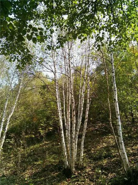 丛生白桦苗木基地-- 河北承德学帅苗木绿化基地