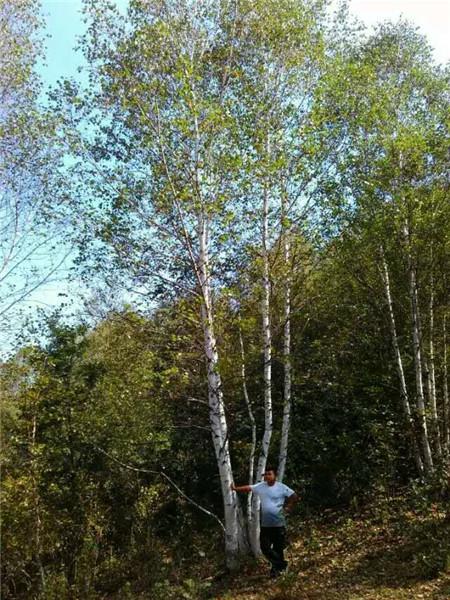 丛生白桦苗木绿化-- 河北承德学帅苗木绿化基地