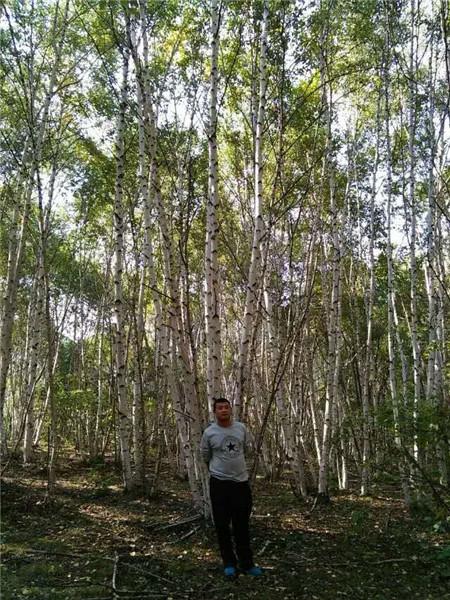 丛生白桦苗木种植-- 河北承德学帅苗木绿化基地