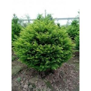 东北红豆杉专业种植