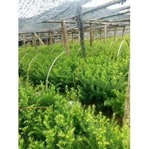 东北红豆杉园艺种植