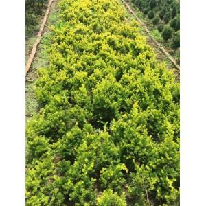 金叶红豆杉专业种植