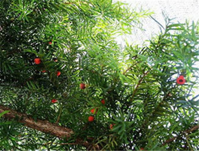 红豆杉树-- 桓仁吉国苗圃
