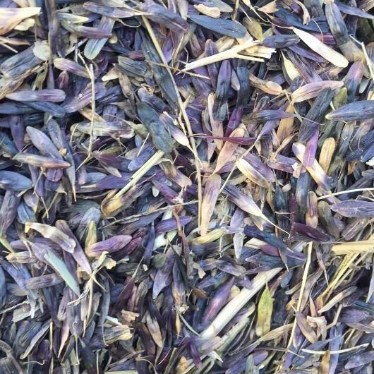 板蓝根种子专业种植-- 大川种苗种植专业合作社