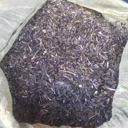 板蓝根种子育苗-- 大川种苗种植专业合作社