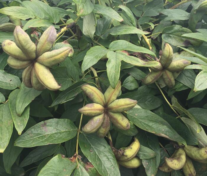 菏泽牡丹种子批发价格 菏泽牡丹种子种植基地-- 菏泽市盛浩花木有限公司