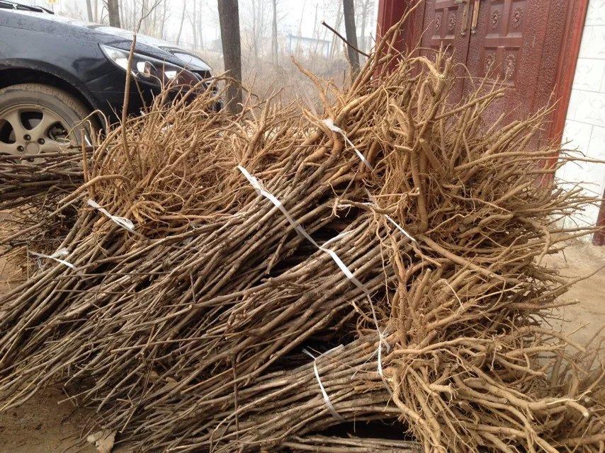 油用牡丹种苗/油用牡丹苗/油用牡丹苗价格-- 亳州市谯城区富家中药材种植农民专业合作社