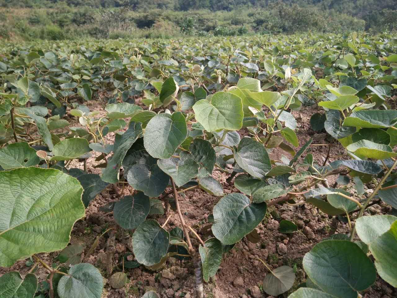 湘西黄金果培育基地 湖南黄金果种植基地-- 湖南湘西兴农猕猴桃种苗基地