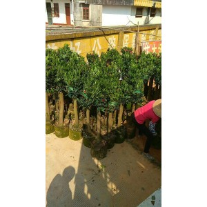 環保植樹袋