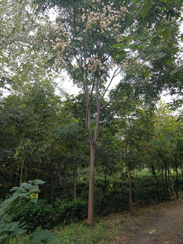 黄山栾树-- 南京市浦口区百姓苗圃场